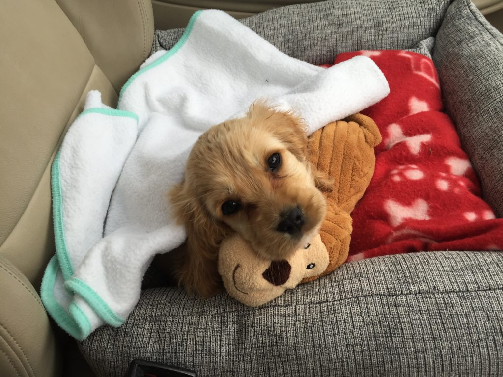 Coeckerlier puppy in a blanket