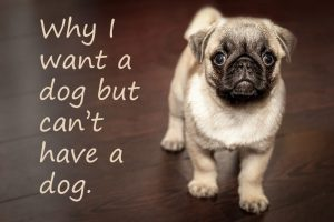 Pug Puppy Why I want a dog but can't have a dog