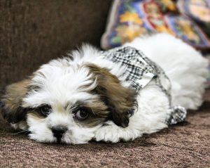 Shih-tzu puppy with head on front paws