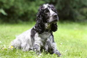 Black and white Cocker Spaniel