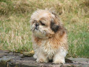 Shih-tzu puppy