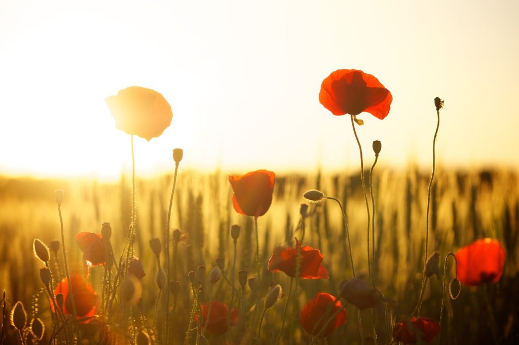 Poppies in a field at sunset
