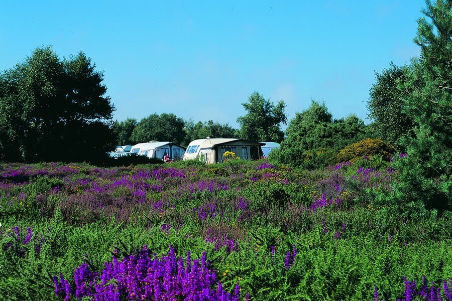Caravans near beautiful flowering heathland and woodland