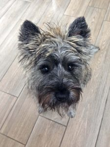 Our Borrow my Doggy Cairn Terrier
